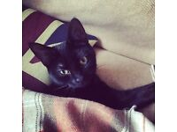 Missing black kitten Angelina 10 months old Marston Green