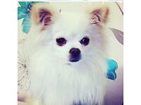 Cream KC Registered Pomeranian for sale