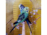 Dave and Phillis 2 friendly budgies!