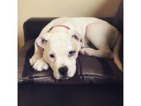 American bulldog puppy (girl)