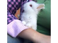 Baby lion head rabbits ready this weekend