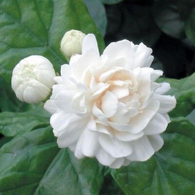 5 Grand Duke Jasmine Seeds Rare Tropical Fragrant Flower While Perennial - Tropical Flower