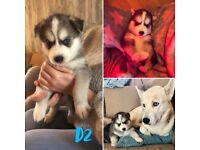 Husky x Malamute puppies for sale! ABSOLUTELY STUNNING!!!