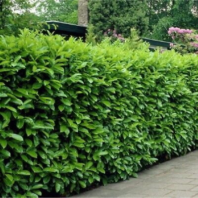 10 Cherry Laurel Evergreen Hedging Plants 20-60cm  lovely bushy plants.