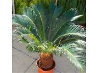 PALM TREE / plant
