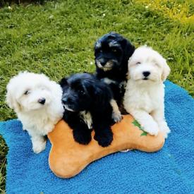 Gorgeous Havadoodle Puppies