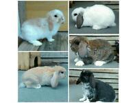 2 months old Mini Lop Rabbits