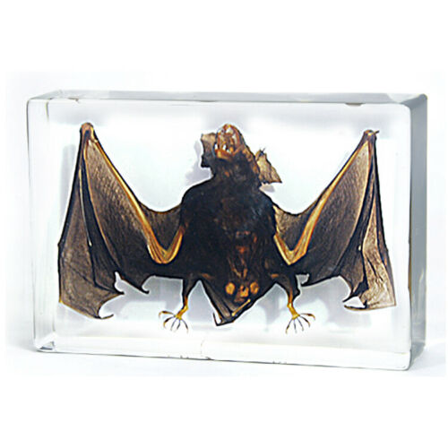 Intermediate Horseshoe Bat Genuine Preserved Specimen Paperweight Paper Weight