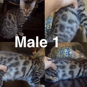 2 puuuuuurfect bengal male kittens ready to go!!!