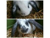 2 Male Mini Lop Rabbits £50