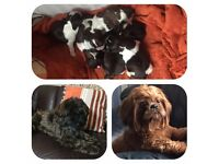 Shih Tzu Puppies - Gorgeous!! Chunky!! Happy!! Playful!!