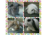 Female Mini Lop Rabbits