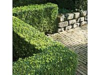 Box Hedging (Buxus Sempervirens) Strong Healthy Plants