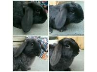 13 weeks old Mini Lop Rabbits