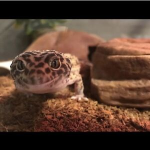 Male leopard gecko comes with everything you need