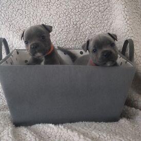 Blue staff (Staffordshire bull terriers) pups kc registered