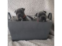 Blue staff (Staffordshire bull terriers) pups kc registered