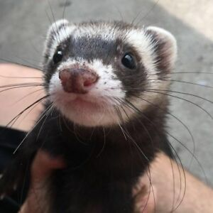 Baby ferrets at The Extreme Aquarium here in Sarnia.
