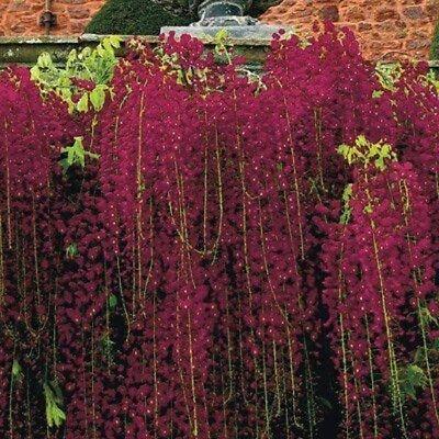 5 Black Dragon Wisteria Seeds Vine Climbing Flower Perennial Rare Tropical - Red Cherry Blossom