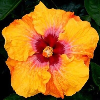 20 Yellow Red Hibiscus Seeds Perennial Seed Hardy Flower Garden Exotic Plant