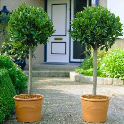 2x Standard Sweet Bay Trees Front Door Entryways Garden Patio Potted Plants 90cm