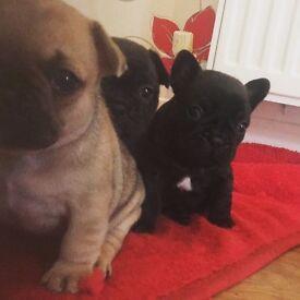 French Bulldog Puppies!