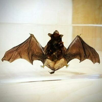 Best Quality Real Bat in Resin, Real Bat in Lucite, Wings Open, Oddities