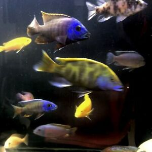 African Cichlids for trade