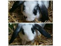 2 Female Mini Lop Rabbits £50