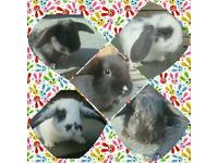 Male Mini Lop Rabbits