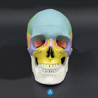 Dental Model Skull Model Anatomical Human Skull Model Medical Skeleton Anatomy