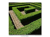 Garden hedging laurel plants. 07522778215 £2.50 EACH