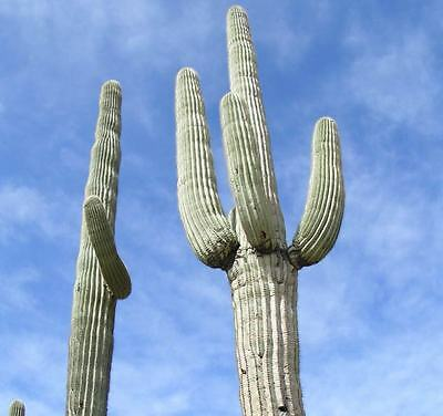 Carnegia Gigantea - Seeds - Giant Saguaro Cactus
