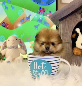 Fluffy Fur-ball Teacup size Pomeranian