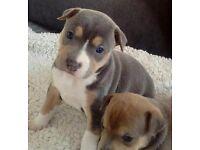 Am bully pups blue xl chunky
