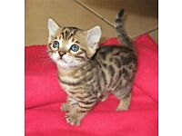 Bengal Kitties for Sale £200 each
