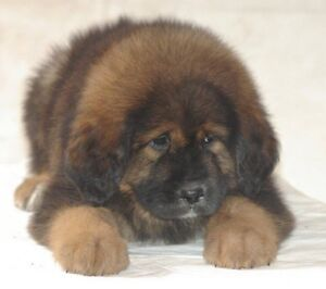 Tibetan mastiff puppies Fairfield Fairfield Area Preview