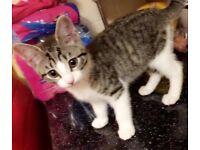 Beautiful kitten, 11/12 weeks old £70