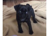 KC Registered Pug Puppies Black Fawn