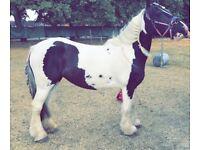 Beautiful 13.3h 6yo mare