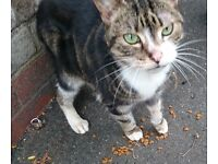 Missing very thin tabby & white cat