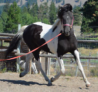 Gorgeous black and white Curly stallion at stud