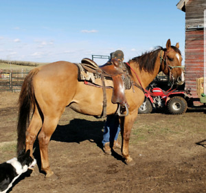 Downsizing Well Broke 8 Year Old Gelding