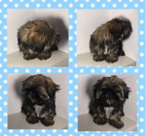 ❤️ SHIH TZU  puppies, non shedding and Hypoallergenic.
