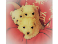 Adorable White Maltese Pups Puppies Puppys for sale