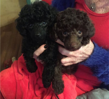 Wanted: Looking for puppy (assistance dog)