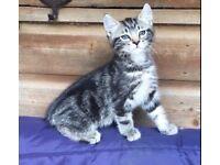 Gorgeous Tabby Male Kitten