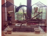 2 Beautiful Budgerigars for sale with cage