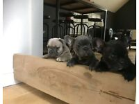 French bulldog rainbow litter
