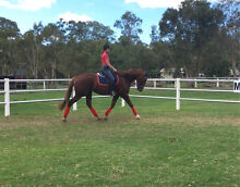Beautiful Chestnut TB Gelding Ransome Brisbane South East Preview